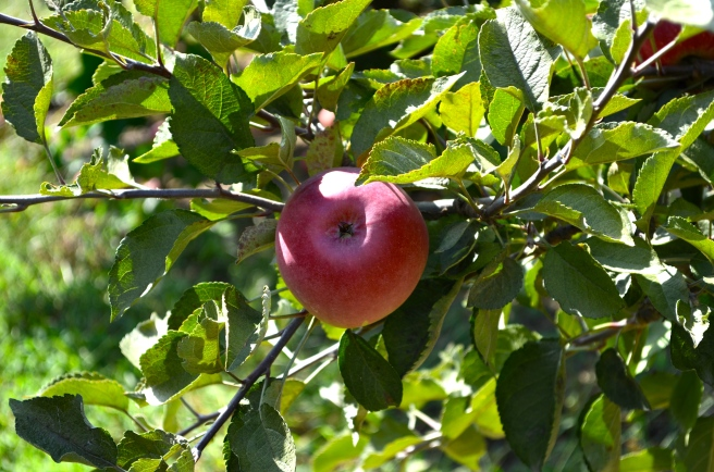 Apple Picking_0894