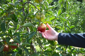 Apple Picking_0901