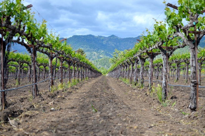 Napa Vineyard_0474